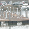 WARREN DILLAWAY / Star Beacon<br /> SEAGULLS HAVE taken over dock space in Conneaut Harbor where boats spent the summer.