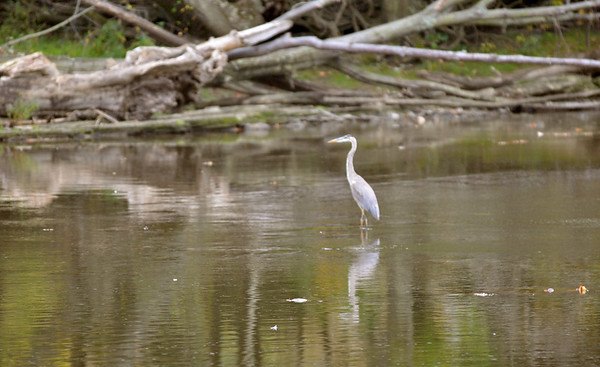 WARREN DILLAWAY / Star Beacon<br /> A HERON is reflected in the Grand River on Monday near the Harpersfield Covered Bridge.