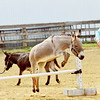WARREN DILLAWAY / Star Beacon<br /> JIM ENSTEN of Twinsburg (right) and Stacey Kovach of Munson Township participate in a donkey jumping contest on Saturday at the Great Geauga County Fair.
