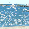 WARREN DILLAWAY / Star Beacon<br /> A WALL of seagulls fly along Lake Shhore Park beach in Ashtabula Township on Tuesday afternoon.