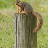 WARREN DILLAWAY / Star Beacon<br /> A SQUIRRELL prepares to enjoy an acorn Tuesday afternoon at the Harpersfield Covered Bridge Metropark.