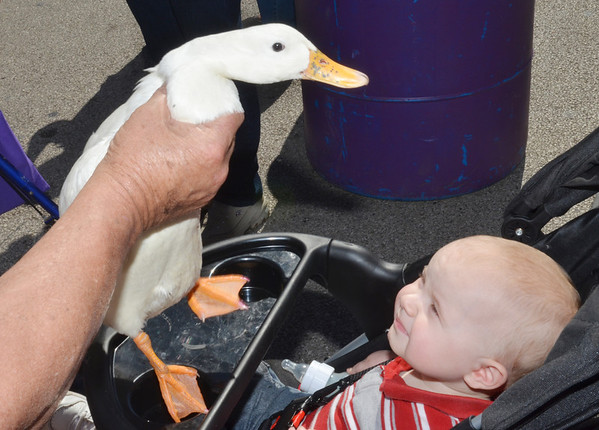 WARREN DILLAWAY / Star Beacon<br /> LANDON HODGSON, 10 months of Perry, meets a duck up close and personal on Saturday at the Grape Jamboree in Geneva.