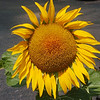 WARREN DILLAWAY / Star Beacon<br /> A LARGE sunflower greets visitors to the Andover Public Library.