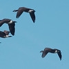 WARREN DILLAWAY / Star Beacon<br /> GEESE FLY over Ashtabula Harbor near Lake Shore Park in Ashtabula Tuesday morning.