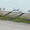 WARREN DILLAWAY / Star Beacon<br /> A LONG line of seagulls line a breakwall along the causeway at Pymatuning Lake Friday afternoon.