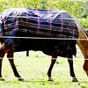 1002 coated horse