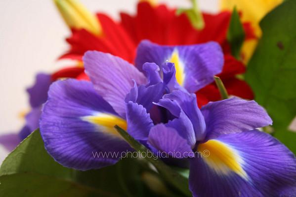 Iris. Melbourne, Australia