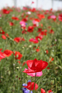 A field of poppies. Auckland, New Zealand