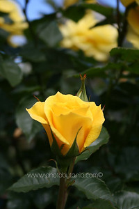 The rose of friendship. Parnell Rose Gardens, Auckland, New Zealand  See more photos in the archive