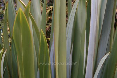 Flax. Auckland, New Zealand