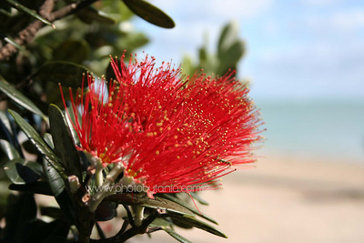 Pohutukawa Flower. Mission Bay, Auckland, New Zealand