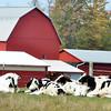 WARREN DILLAWAY / Star Beacon<br /> COWS RELAX along Middle Road in Monroe Township.