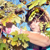 WARREN DILLAWAY / Star Beacon<br /> KATIE EMERY of Niles picks grapes at Buccia Vineyard in Conneaut on Saturday. Fred Bucci has hosted a harvest party at the end of the season for the last 20 years.