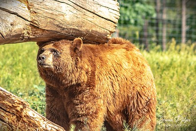 Bear scratching his back on a log. Enjoy and hold hands.