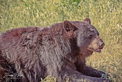 Bear resting in the grass on a early spring morning