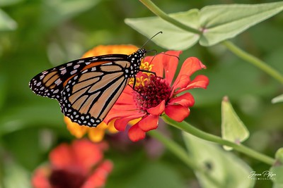 Monarch butterfly enjoying a small flower. Enjoy and hold hands.
