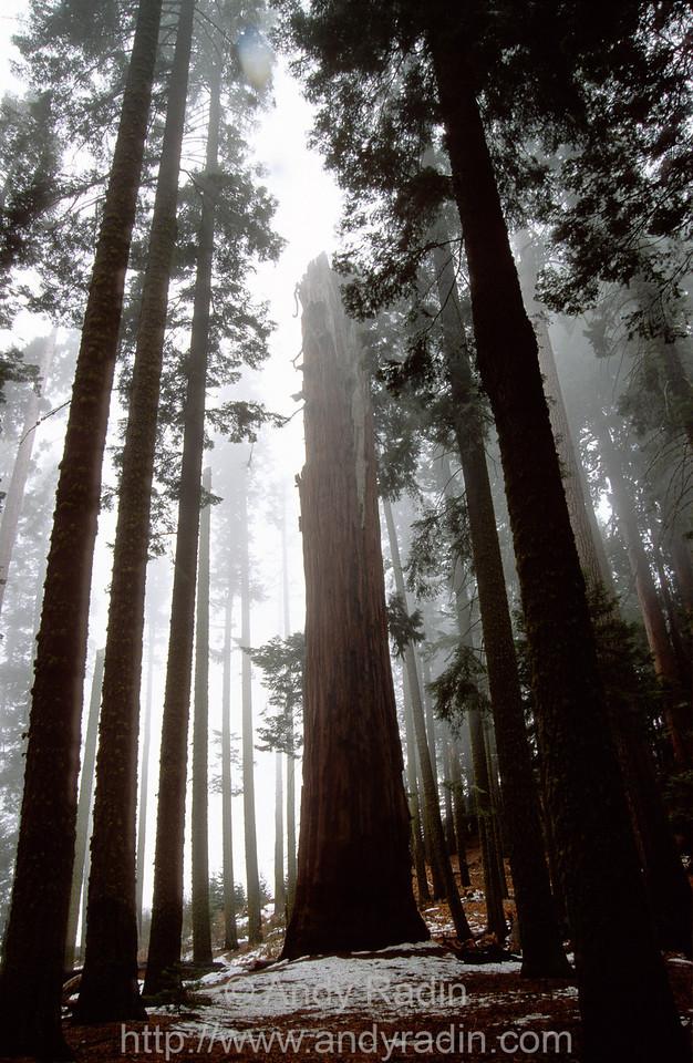 Solitary Redwood Stump