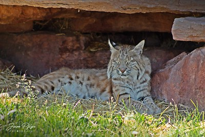 A bobcat resting his eyes in Bear Country in the Black Hills of South Dakota. Enjoy and hold hands.