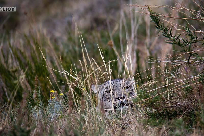 Snow Leopard hiding in the brush