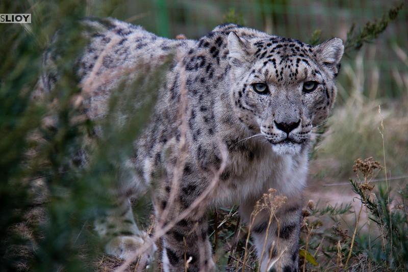 Snow leopard inside enclosure at NABU