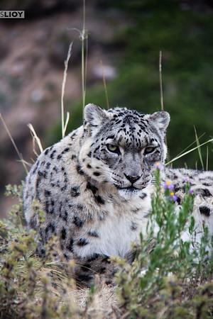 Portrait of a single snow leopard.