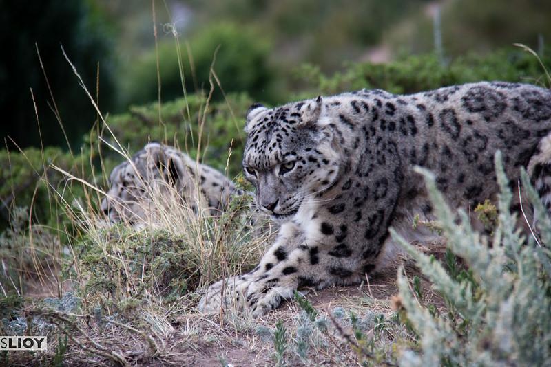 Snow leopards side by side in Kyrgyzstan.