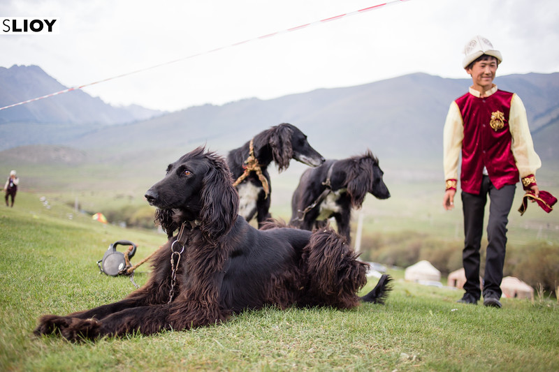 A local boy shows off his taigan dogs on jailoo Kyrchyn at World Nomad Games 2016 in Kyrgyzstan.