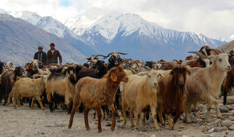 tajikistan wakhan corridor pamir highway livestock