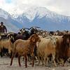 Heavy livestock traffic on rural roads in the Tajik Wakhan.
