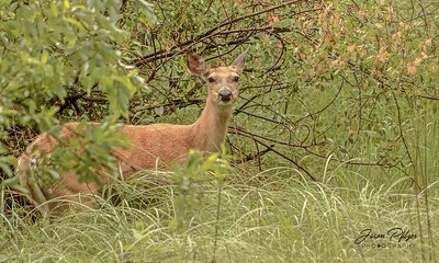 Deer hiding in the trees near the park entrance of Custer State Park. Enjoy and hold hands.