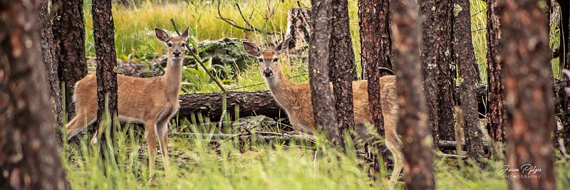 Two deer hiding in the Black Hills. Enjoy and hold hands.