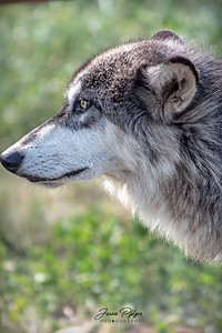 Wolf intently gazing at something in the distance.