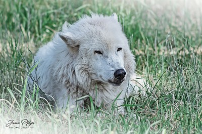 Wolf resting in the spring grass