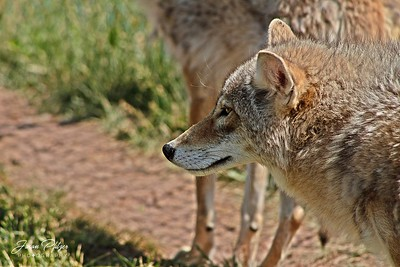 Coyote located at Bear Country in the Black Hills of South Dakota. Enjoy and hold hands.