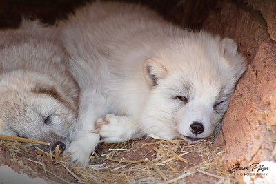 White wolf cubs sleeping in a hollow at Bear Country in the Black Hills of South Dakota. Enjoy and hold hands.