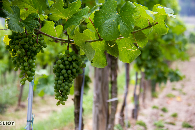 wachau valley grapes