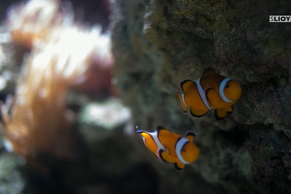 clownfish at the aquarium de paris
