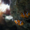 clownfish at the aquarium de paris