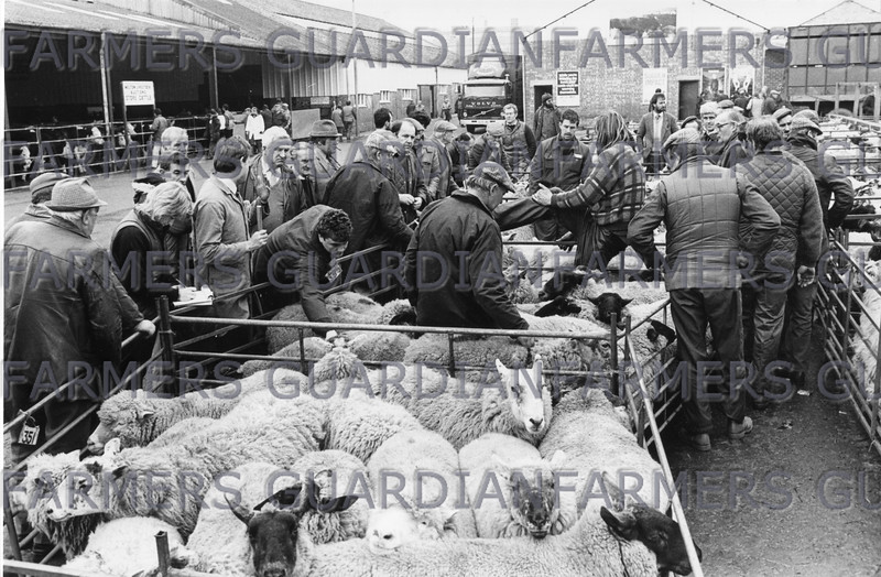 1988 sheep under auction in the outdoor pens at Melton Market 25/3/88