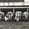 milking 1915