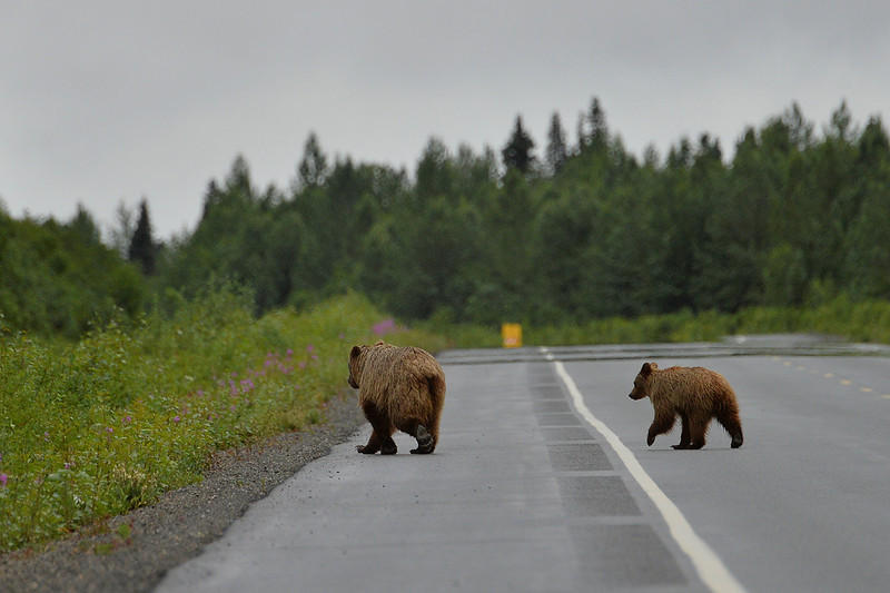 July 19, 2013: Sadler's Alaska Challenge Stage Five from Milepost 211 to Milepost 183. A pair of brown bears cross the Parks highway in front of the handcyclists during stage five.