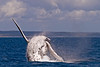 A Humpback whale breach in the hervey bay Australia