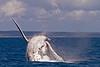 A Humpback whale breach in the hervey bay Australia