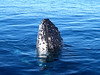 Humpback whale breaching the ocean in australia