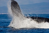 Big Splash of Humpback Whale Up Close (check out the detail of midair water drops)