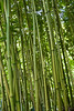 Green bamboo forest in Maui, Hawaii, USA.
