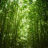 Green bamboo forest in Maui, Hawaii.