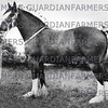 1966 Royal Lancs Show, Messrs A & A Gardiner,  Out Rawcliffe, champion shire mare, Burnham Beauty.
