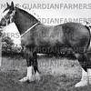 1966 Royal Lancs Show, Messrs A & A Gardiner,  Out Rawcliffe, champion shire mare, Burnham Beauty.