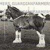 Burton Show 1962, Mr A. Gardner, OutRawcliffe, gelding Dunderdales Super champion heavy horse.